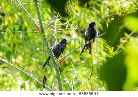 Greater Racket-tailed Drongo (dicrurus Paradiseus )