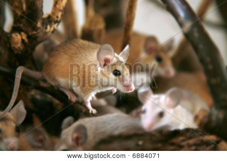 African, desert thorny mouse ( Acomys cahirus )