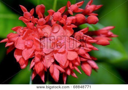 Red Flower Of West Indian Jasmine ( Ixora Chinensis Lamk )