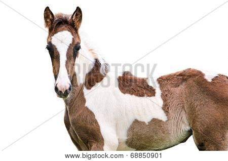 Brown And White Horse Isolated
