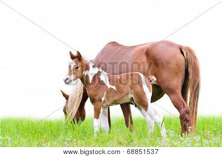 Mare And Foal With Brown White