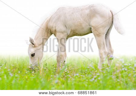 Horse Foal In Grass Isolated On White.