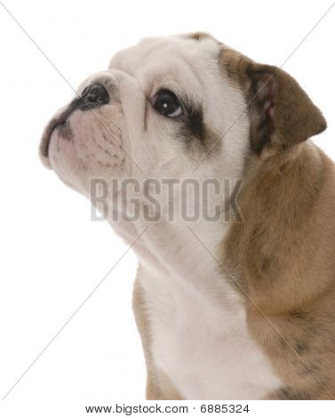 Bulldog Puppy Portait