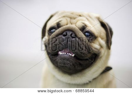 Smiling Pug On Dog Show