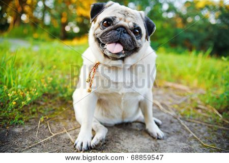 Little Smiling Pug