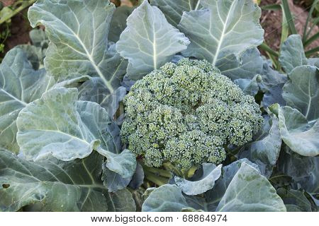 Lush Cabbage Broccoli In The Garden