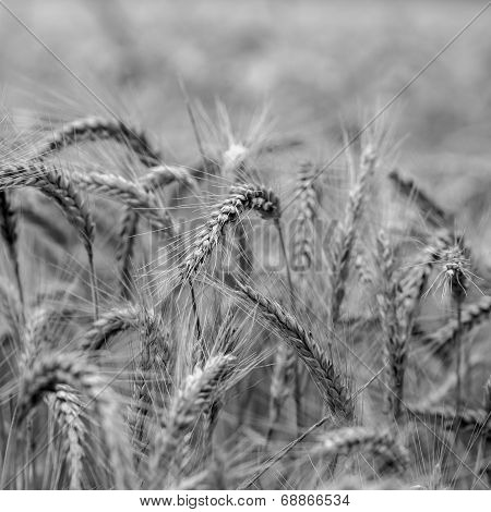 Agricultural Background Of Ears Of Wheat