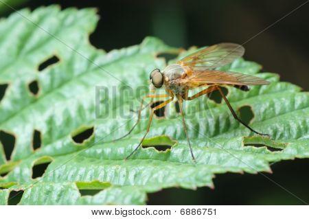 Predatória Snipe-mosca (rhagio Scolopaceus)