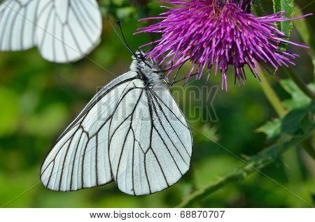 Butterfly (black-weined White) (aporia Crataegi)
