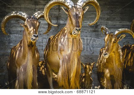alpine, group of mountain goats, Family mammals with large horns
