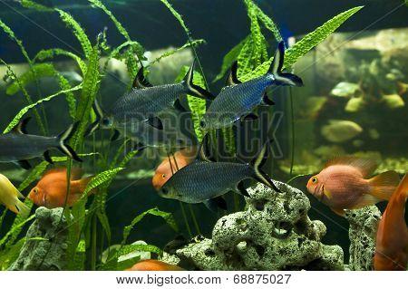 Balamtiocheilus Melanopterus, Cichlidae Family