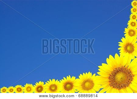 Sunflowers And Blue Sky.