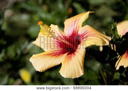 Hibiscus Flower, Sideview, Outside