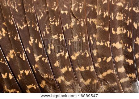 European Nightjar, Goatsucker (caprimulgus Europaeus)