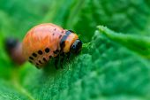 picture of larva  - Colorado beetle larvae Leptinotarsa decemlineata on potato leaf macro