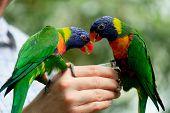 stock photo of lorikeets  - Rainbow Lorikeet Parrot  - JPG