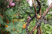 stock photo of garden snail  - A yellow garden snail nesting on a hand made wooden plant frame bound with garden string in an urban city garden - JPG