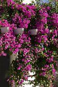 foto of begonias  - Decorative aegean and mediterranian flower Begonia  - JPG