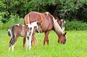 foto of mare foal  - Mare and foal with white brown graze in the pasture - JPG