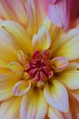 picture of temperance  - The Dahlia is a perennial flower found in tropical regions but can be used in temperate zones when stored over winter - JPG
