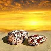 pic of conch  - Conch shells on beach in the sunset - JPG