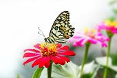 picture of lime-blossom  - Lime butterfly resting on red zinnia flower - JPG