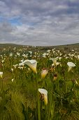 image of arum lily  - Field with arum lilies in Darling Soth Africa - JPG