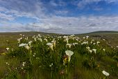 picture of arum  - Field with arum lilies in Darling Soth Africa - JPG