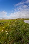 image of arum  - Field with arum lilies in Darling Soth Africa - JPG