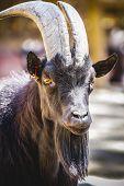 foto of goat horns  - pastoral - JPG
