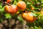 pic of apricot  - An apricot tree branch with ripe apricots - JPG