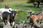 stock photo of saanen  - pair of swiss saanen goats butting heads of looking on - JPG