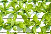 pic of hydroponics  - Hydroponic vegetable being grown in a nursery - JPG