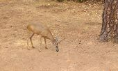 foto of black tail deer  - Black - JPG