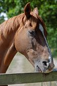 pic of chestnut horse  - A chestnut horse biting a paddock fence - JPG