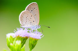foto of eat grass  - Close up small brown butterfly eating the nectar on flower of grass One of the smallest butterflies in the world Tiny Grass Blue or Zizula hylax hylax