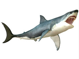 stock photo of aquatic animals  - The Great White Shark is a large predator and is found throughout the world - JPG