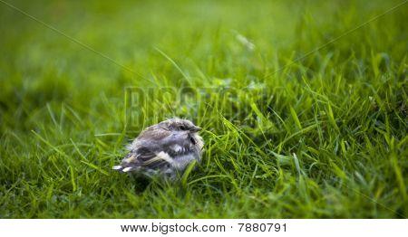 Chaffinch Fledgling (fringilla Coelebs)