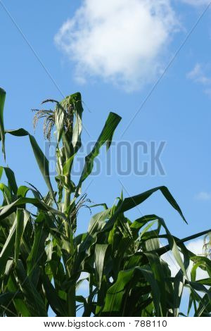 Corn Stalks Against the Sky