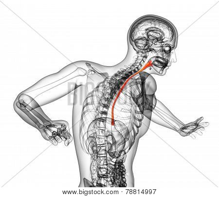 3D Rendered Illustration Of The Esophagus