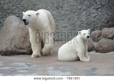 White Polar Bears Family