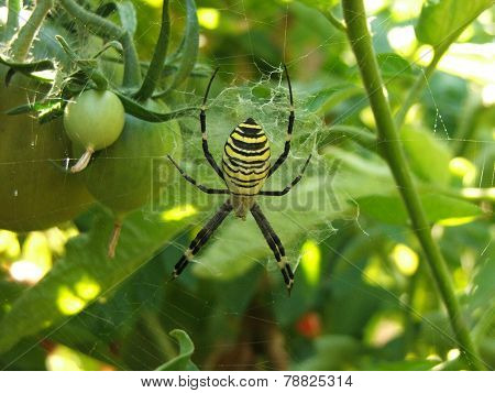 tomato spider