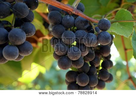 Close-up of red wine grapes in the vineyard