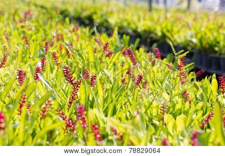 Red Aechmea Apocalyptica Gamesopela Bromeliad Flowers.