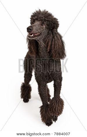 Happy Black Standard Poodle Dog