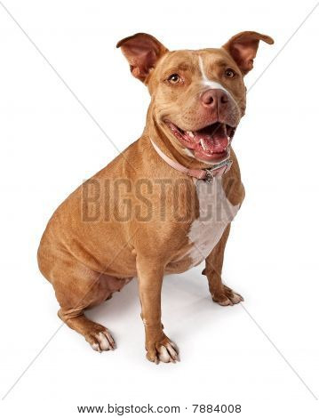 Friendly Pit Bull