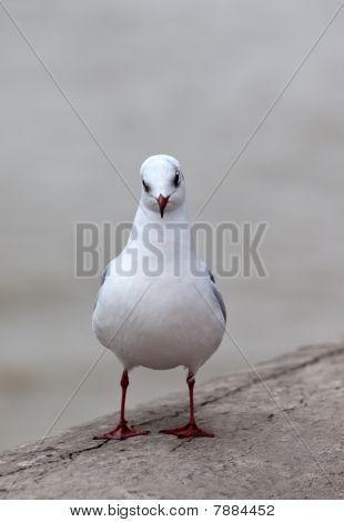 Single White Seagull