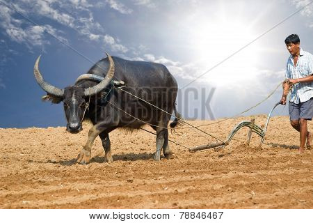 Male Buffalo Plowing