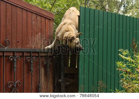 funny dog climbs over the fence