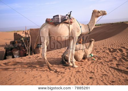 Couple Of Camels In Sahara.
